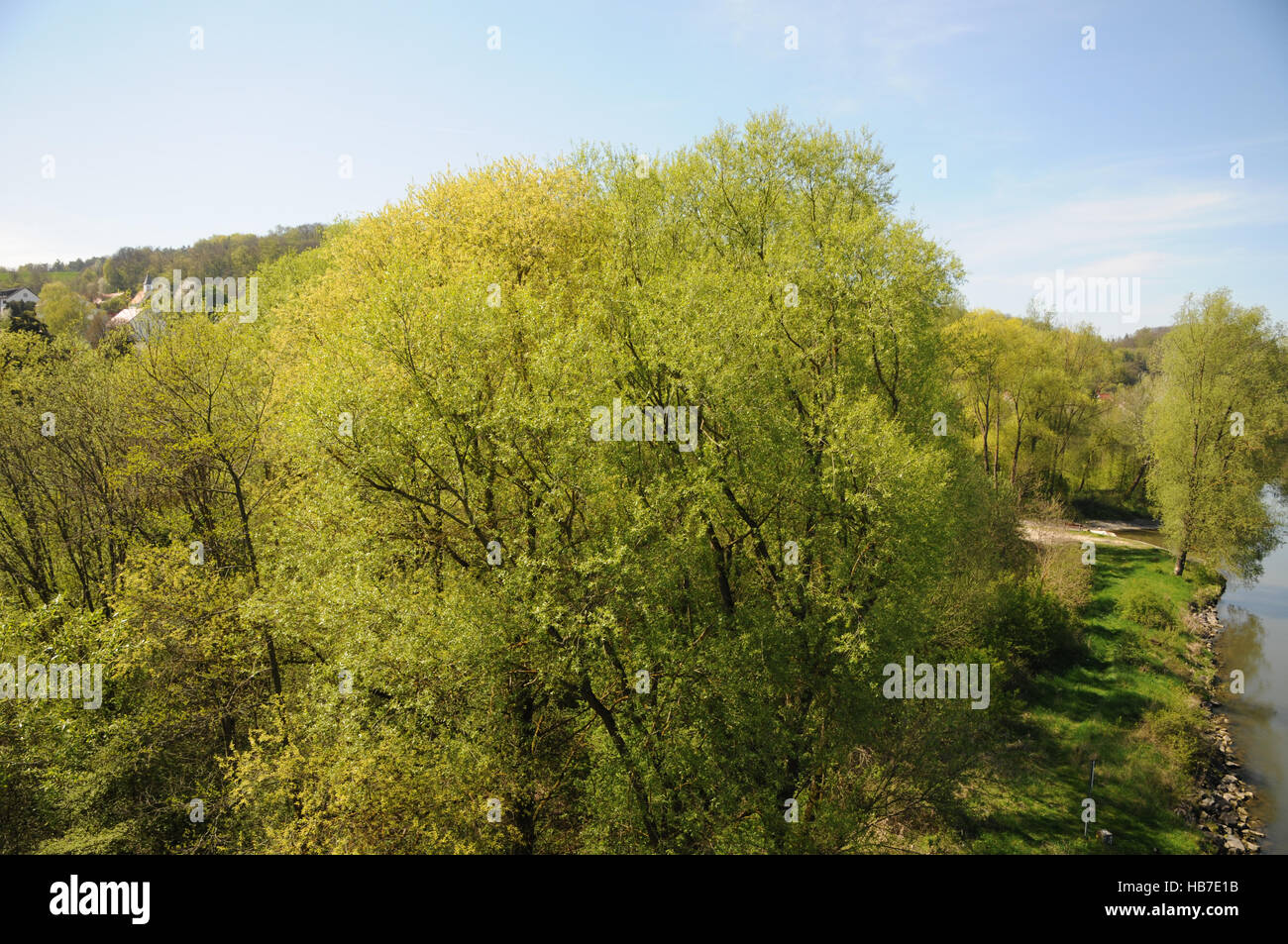 Salix alba, Silver willow, riparian forest - Stock Image