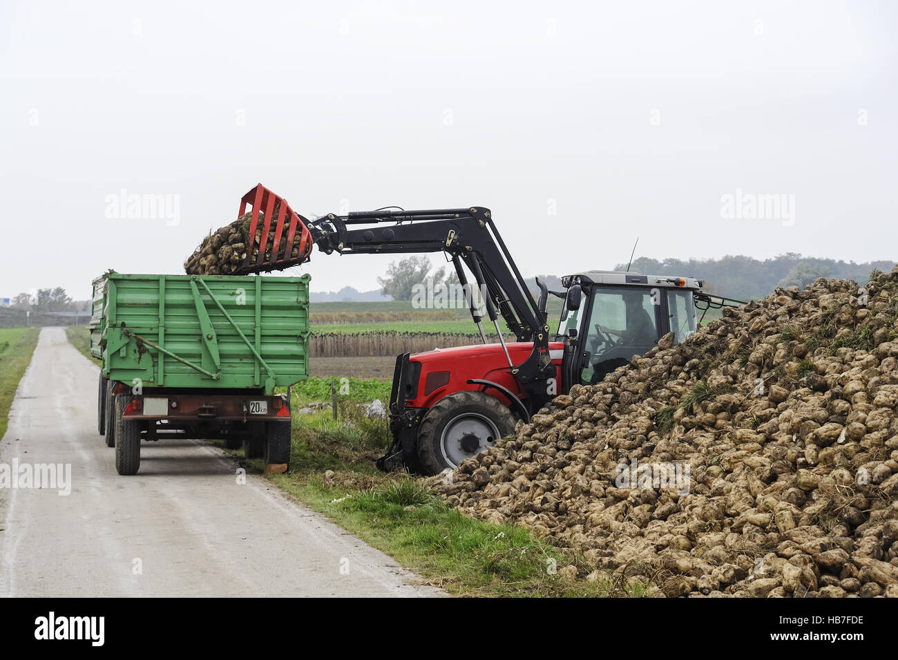 Tractor when loading Beet sugar Stock Photo