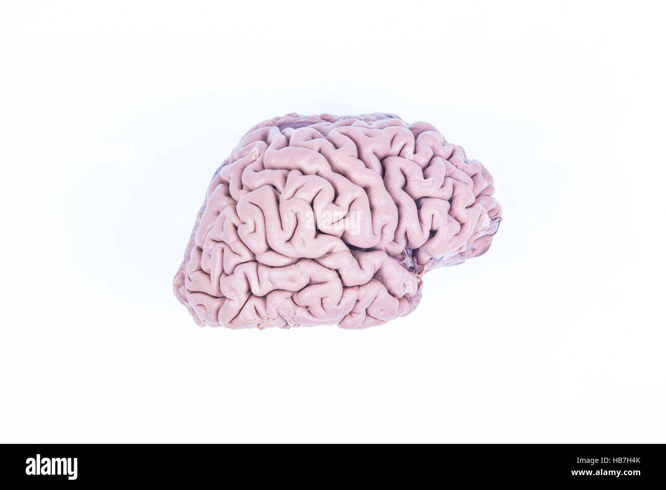 real human brain isolated on white - Stock Image
