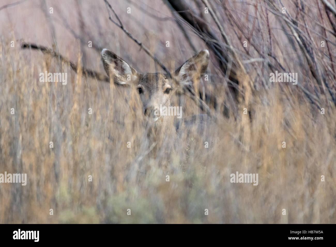 Rocky Mountain Mule Deer, (Odocoileus hemionus hemionus), doe in cover.  Ladd S. Gordon Waterfowl Management Area, - Stock Image