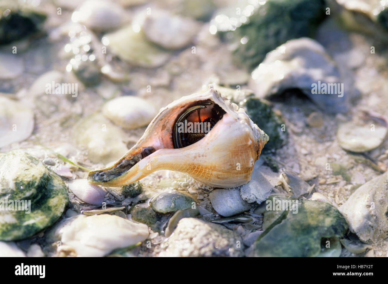 Left-handed Whelk bi-valve seashell also know as the Lightning Whelk. Hermit Crab is living in the shell. Texas - Stock Image