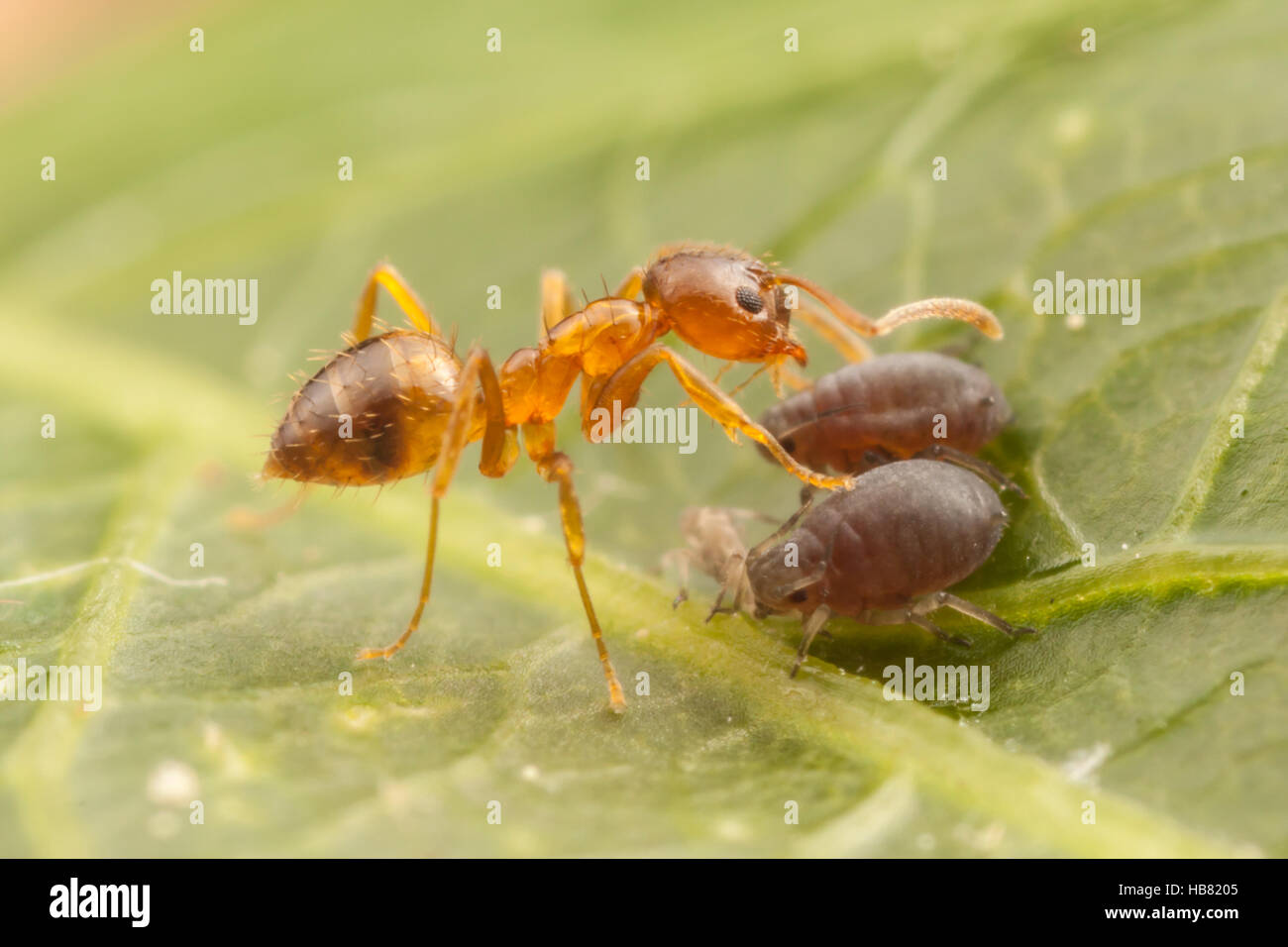 A Crazy Ant (Nylanderia flavipes) tends aphids (Aphis sp.) for their honeydew. - Stock Image