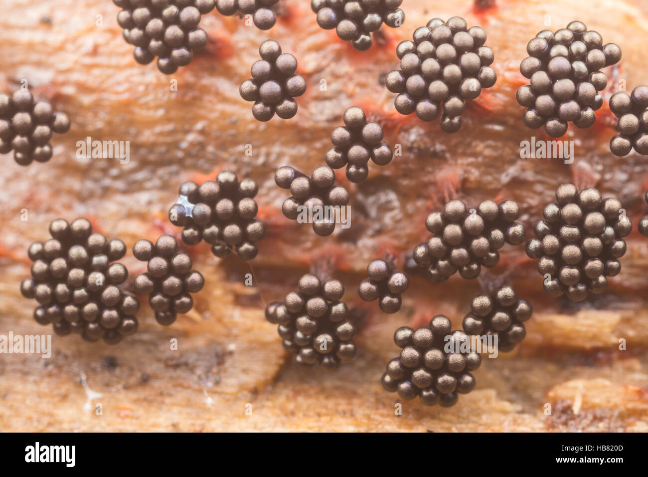 Fruiting bodies of Multigoblet Slime Mold (Metatrichia vesparium) grow on the side of a fallen dead tree. - Stock Image