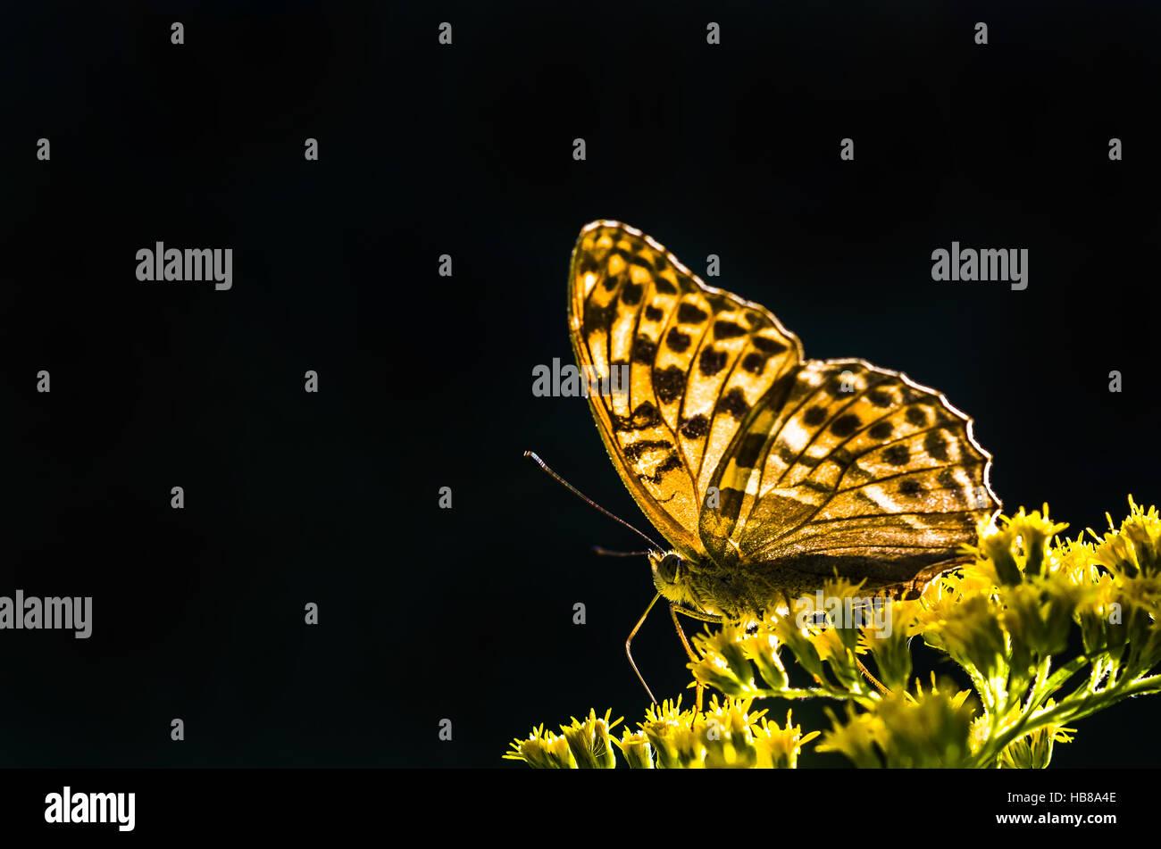 butterfly / csaterberg / burgenland - Stock Image