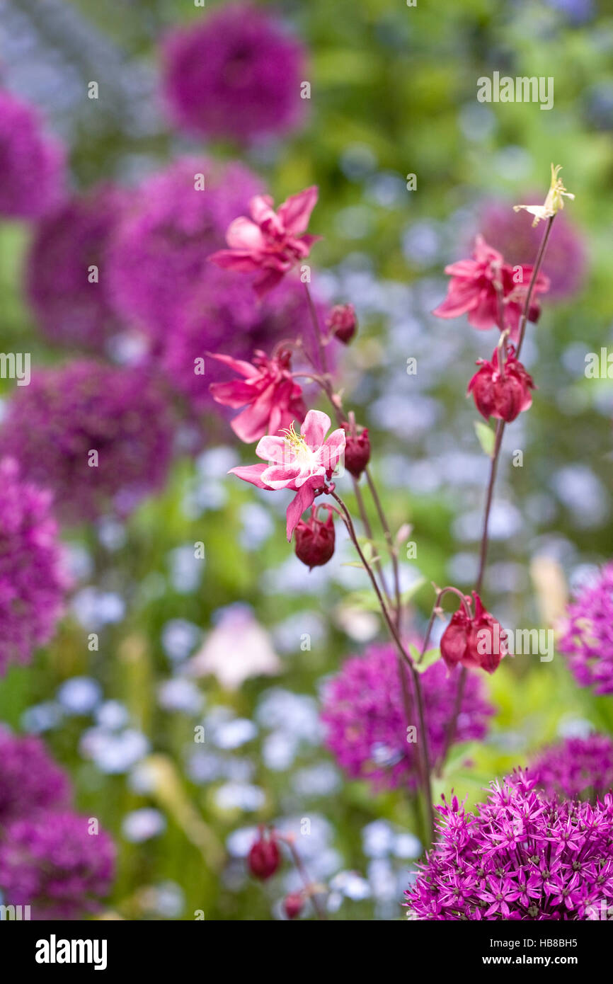 Pink Aquilegia amongst allium flowers in a cottage garden. - Stock Image