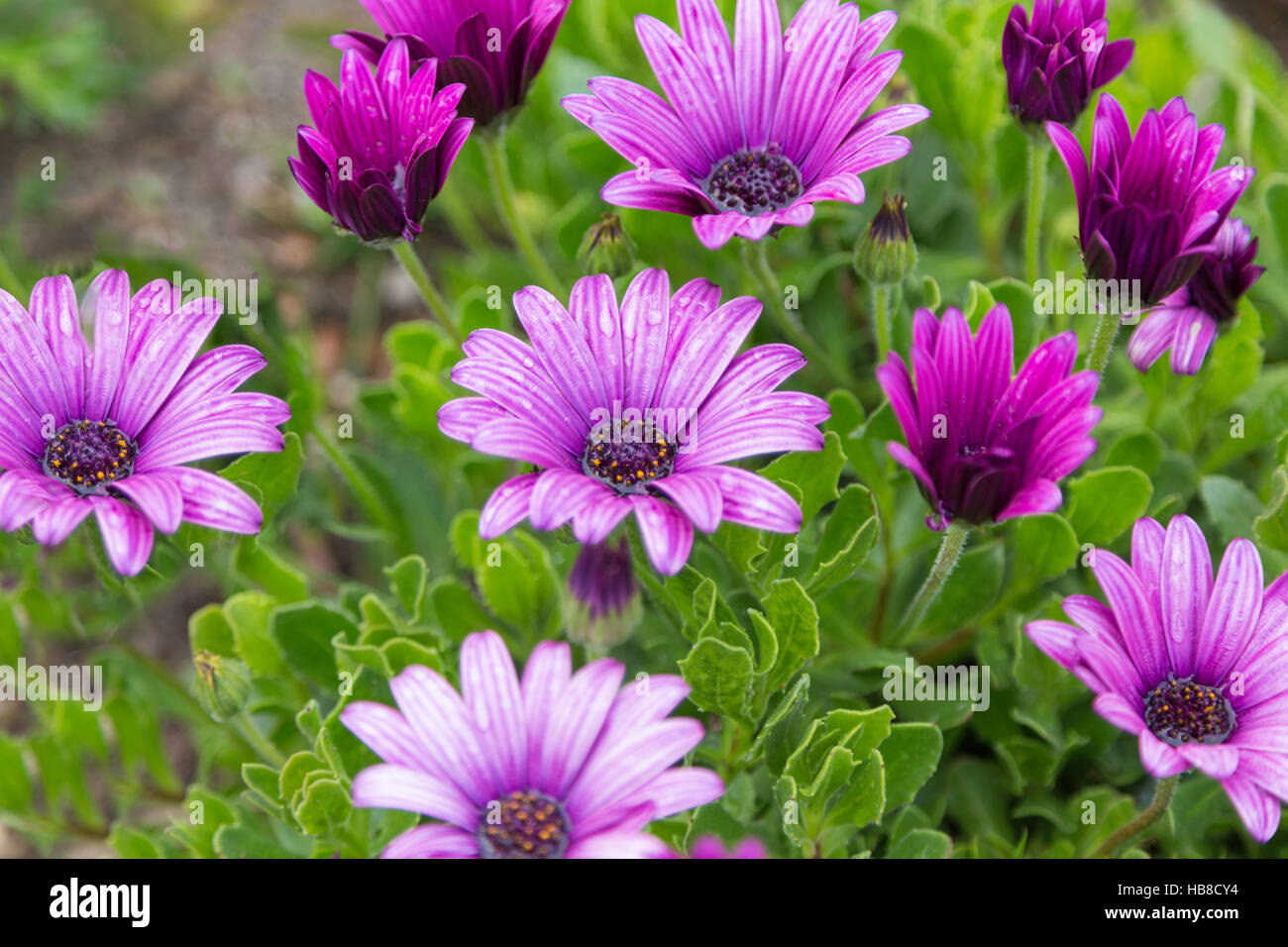 Purple Daisy Flowers With Rain Drops And Green Foliage Stock Photo