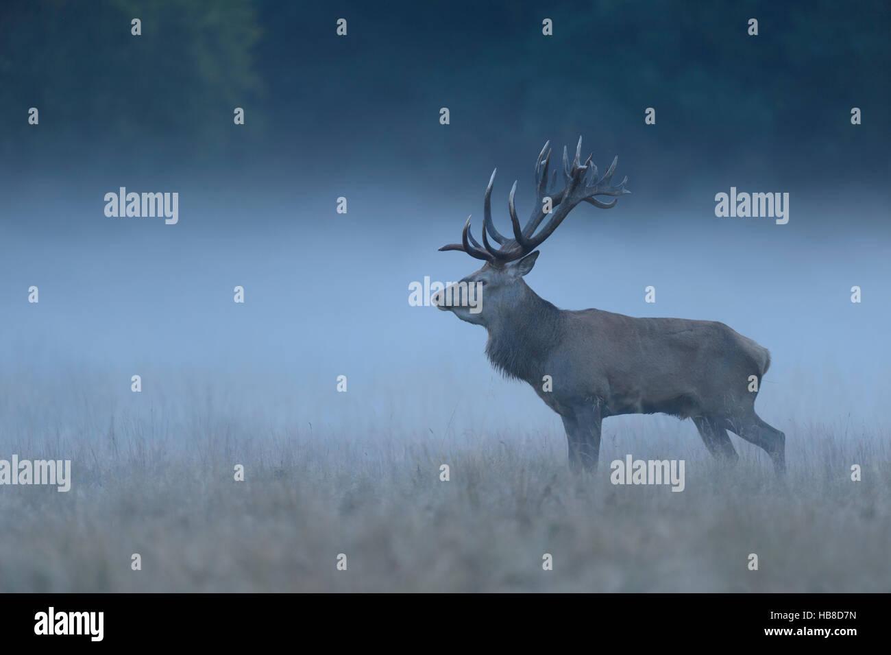 Red deer (Cervus elaphus), buck, foggy meadow, Jägersborg, Denmark - Stock Image
