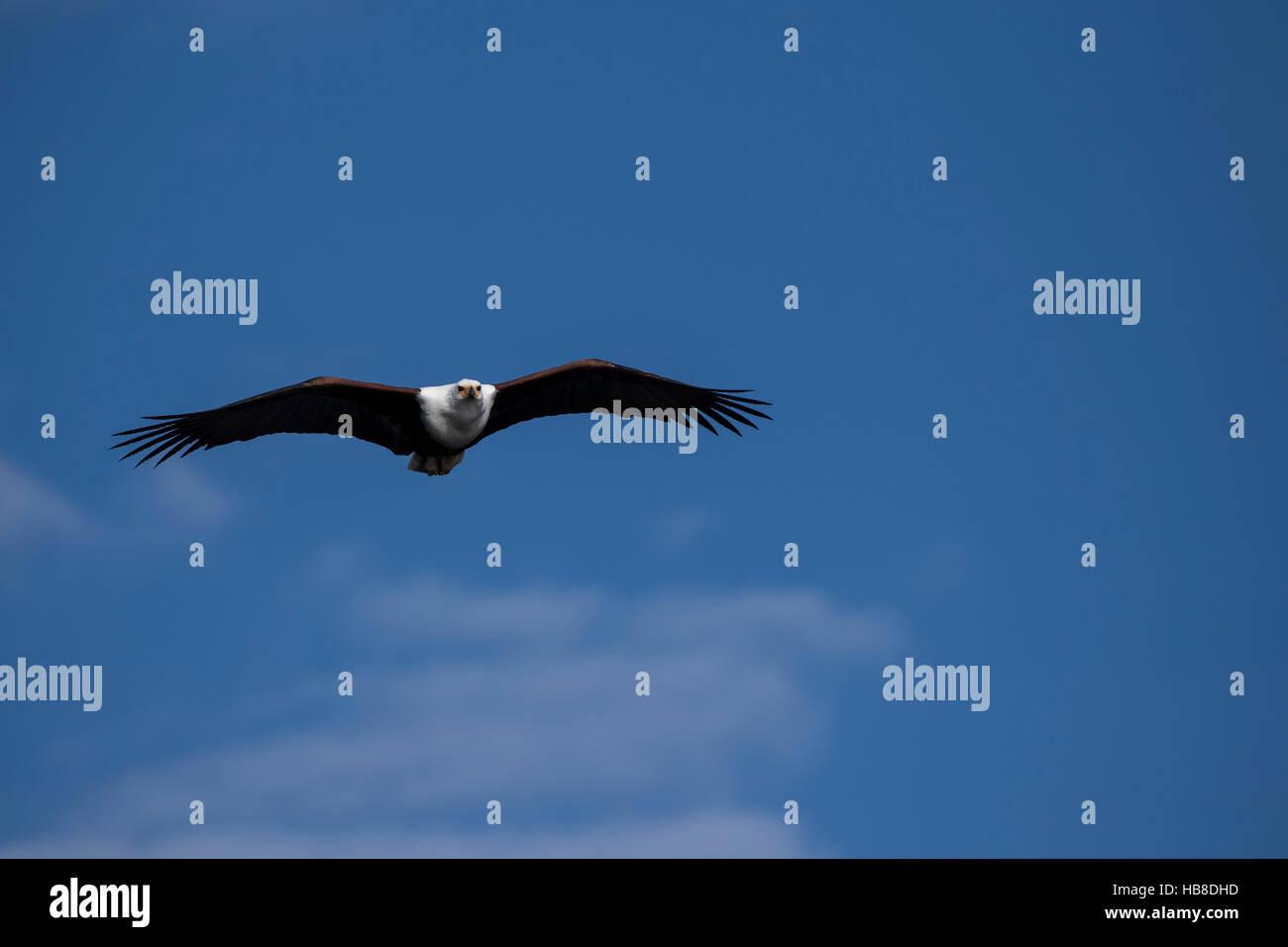 Flying fish eagle (Haliaeetus vozier), Chobe National Park, Botswana Stock Photo