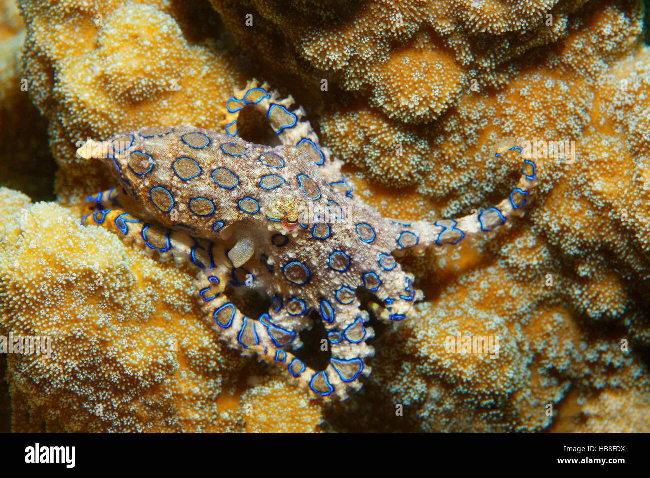 Greater blue-ringed octopus (Hapalochlaena lunulata), venomous, Bunaken National Park, Sulawesi, Celebes Sea, Indian - Stock Image