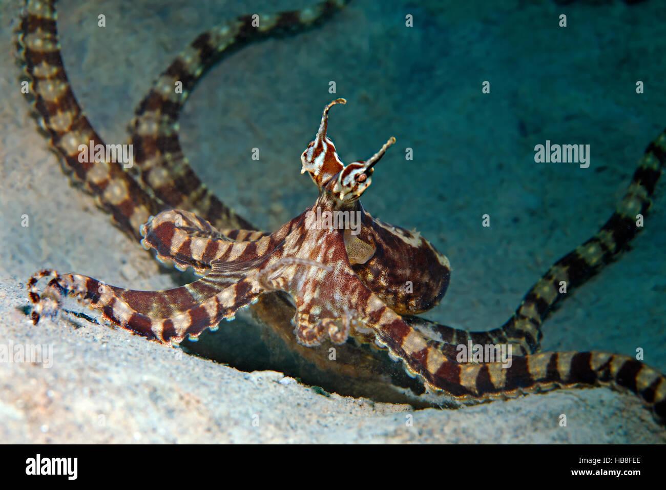 Wonderpus octopus (Wonderpus photogenicus), Bunaken National Park, Sulawesi, Celebes Sea, Indian Ocean, Indonesia - Stock Image