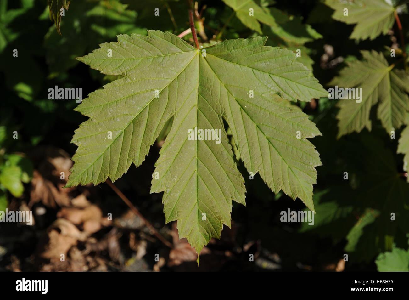 Acer pseudoplatanus, Sycamore maple Stock Photo