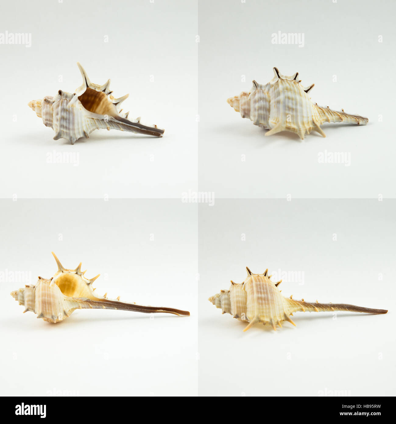 Shells with spines - Stock Image