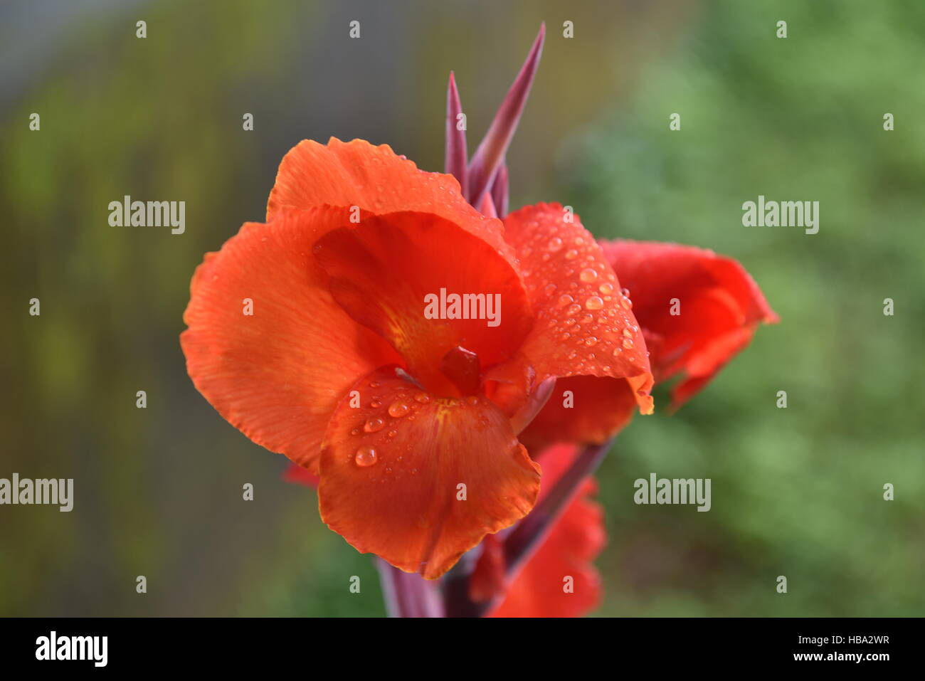 Canna lily, although not a true lily. Indian flower plant footage taken in rainy days - Stock Image