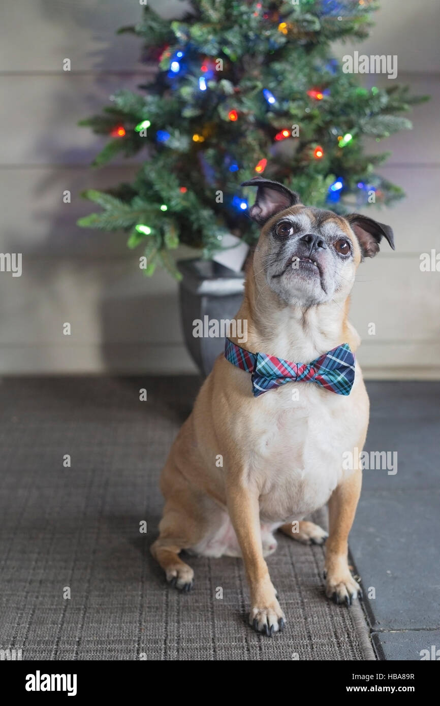 Bugg dog (crossbred Boston Terrier and Pug) with bow tie in front of Christmas tree - Stock Image
