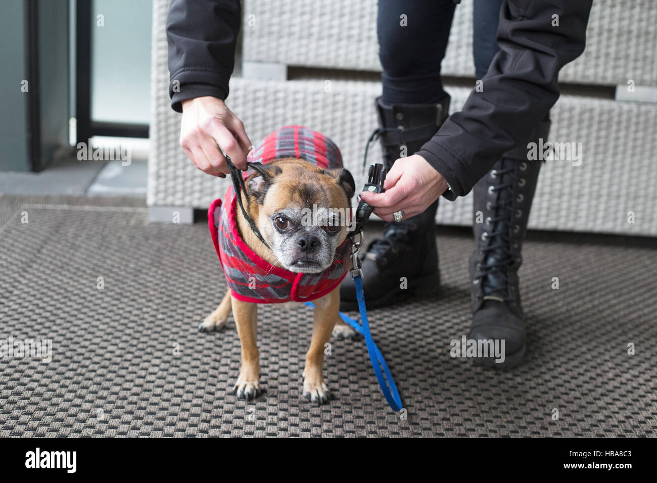 Woman getting her dog ready to go out for a walk in cold weather (Bugg dog, cross between Boston Terrier and Pug) - Stock Image