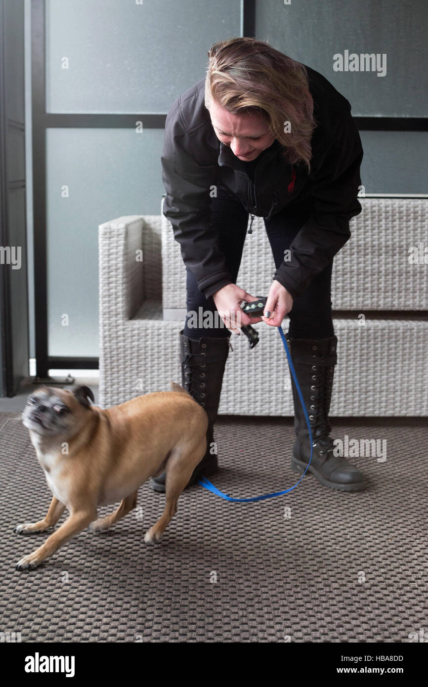 Bugg dog (cross between Boston Terrier and Pug) exited about getting ready to go out for a walk - Stock Image