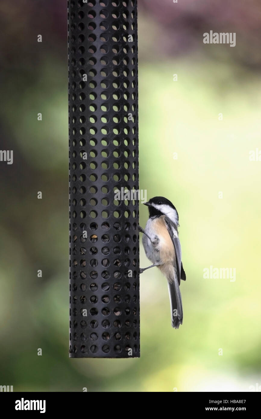 Black-capped chickadee (Poecile atricapillus) perching on backyard feeder with sunflower seeds - Stock Image