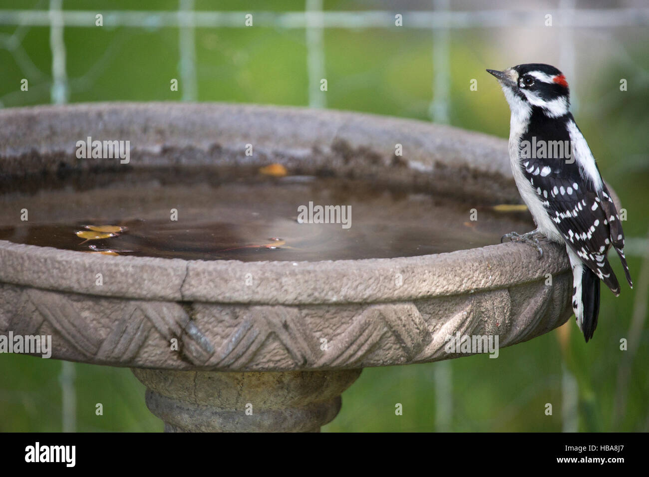 Male Downy Woodpecker perched on bird bath in yard (Picoides pubescens) - Stock Image