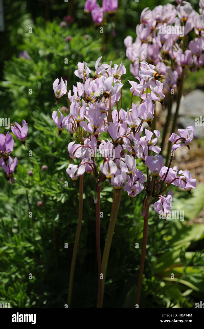 Dodecatheon meadia, Meads shootingstar Stock Photo