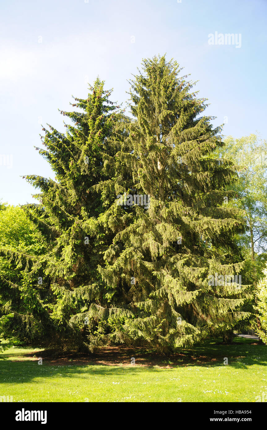 Picea abies, Norway spruce Stock Photo