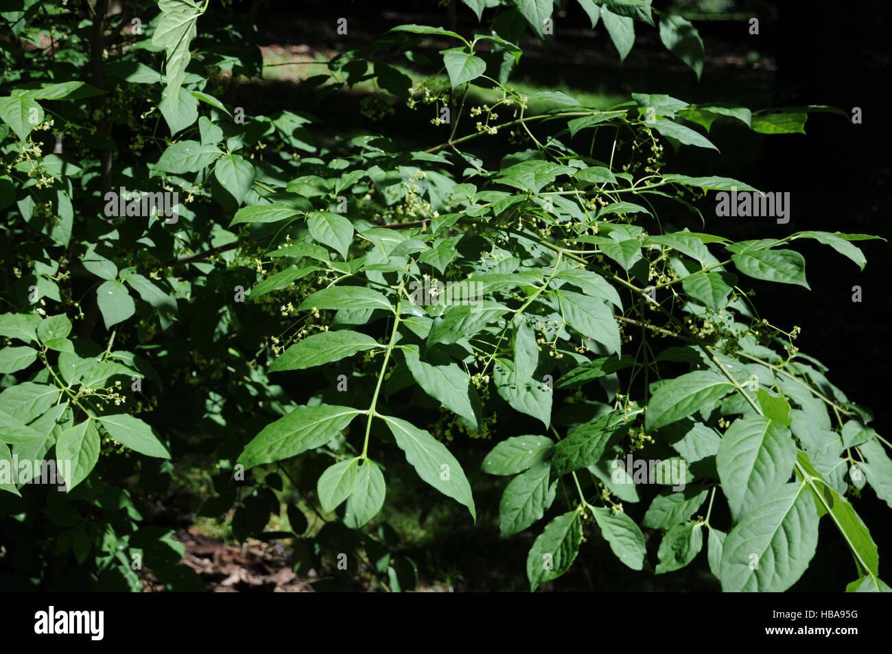Euonymus latifolius, Largeleaf spindle Stock Photo
