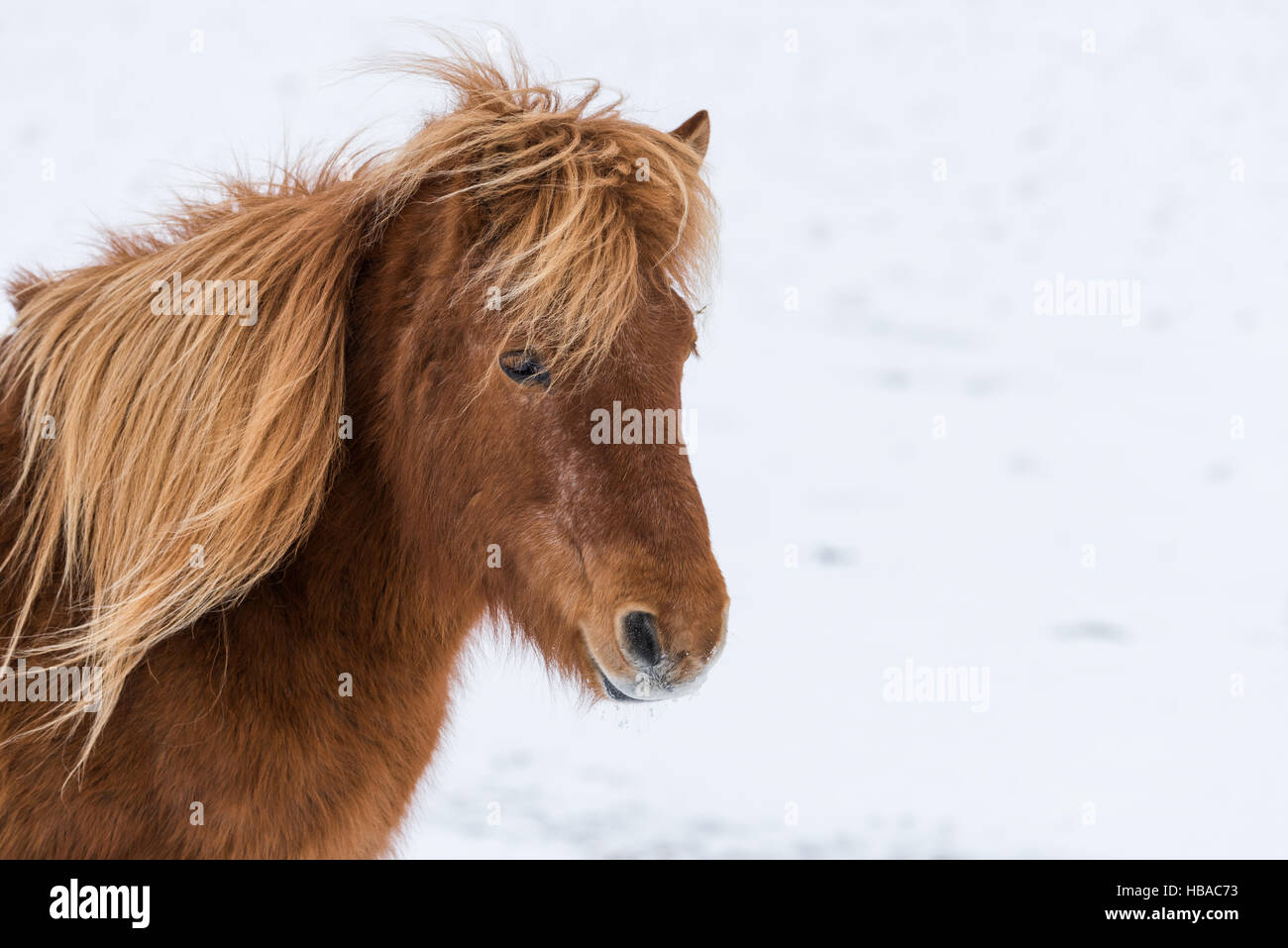Portrait from an Icelandic horse in Iceland - Stock Image