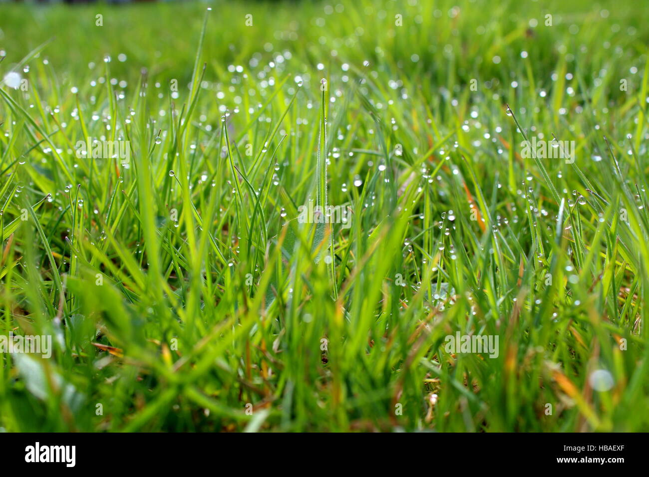 blades of grass with morning dew closeup - Stock Image
