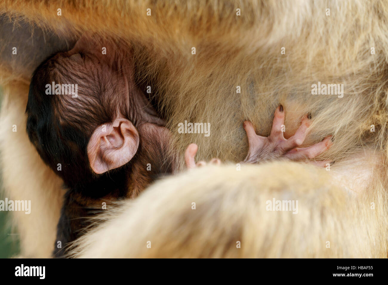 Portrait of a barbary macaque suckling as she grabs her mother to keep from falling - Stock Image