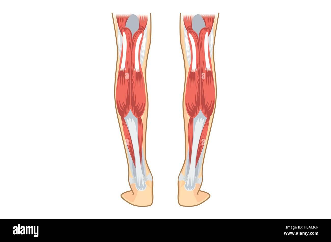 Calf Muscle Of Human Stock Vector Art Illustration Vector Image