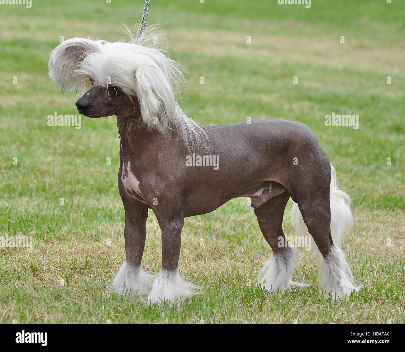 chinese crested male - Stock Image