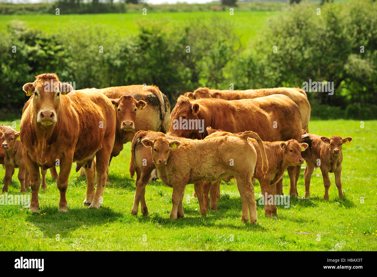 limousin cows and calves - Stock Image