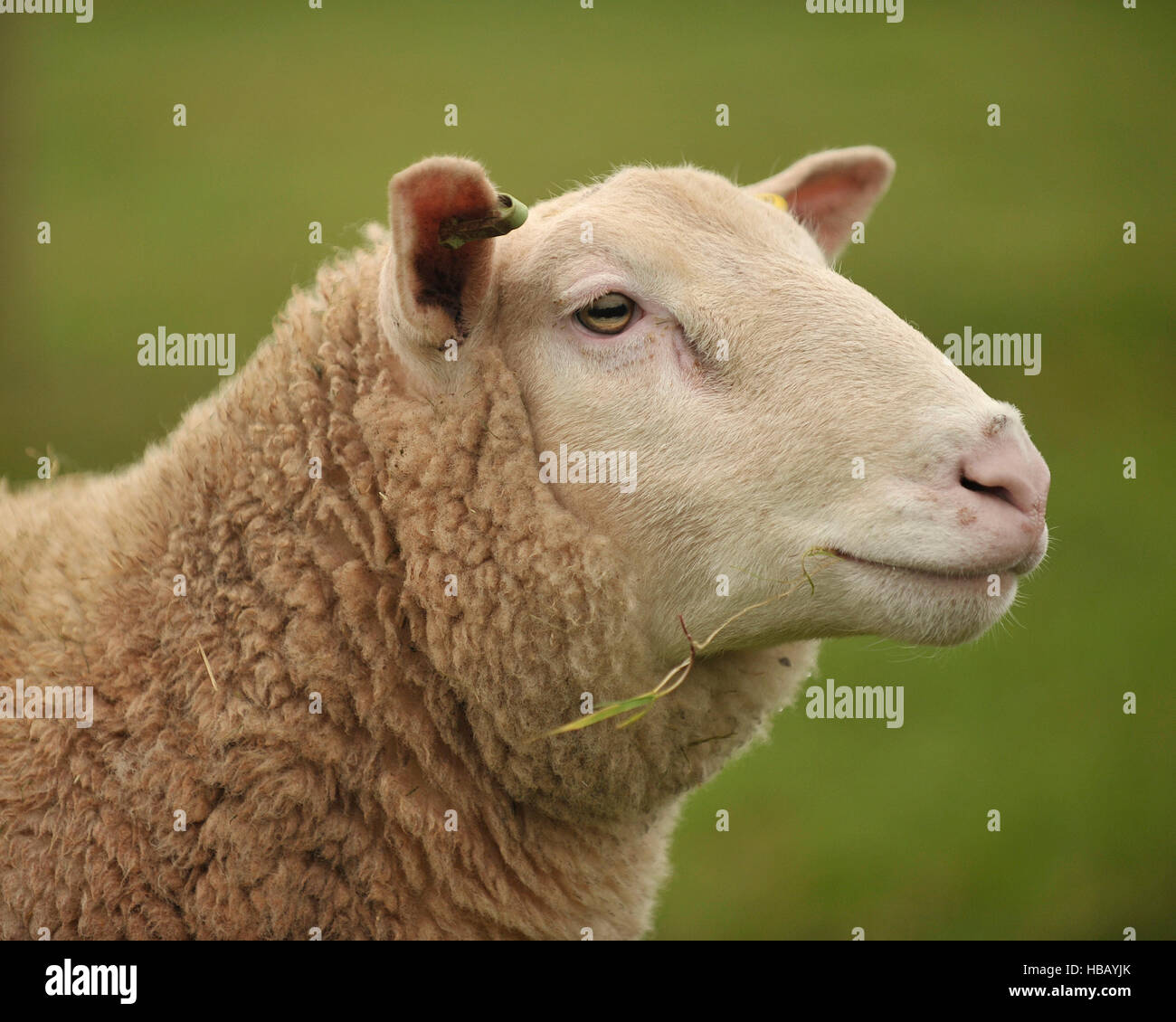 berichon ram, 18 months old - Stock Image