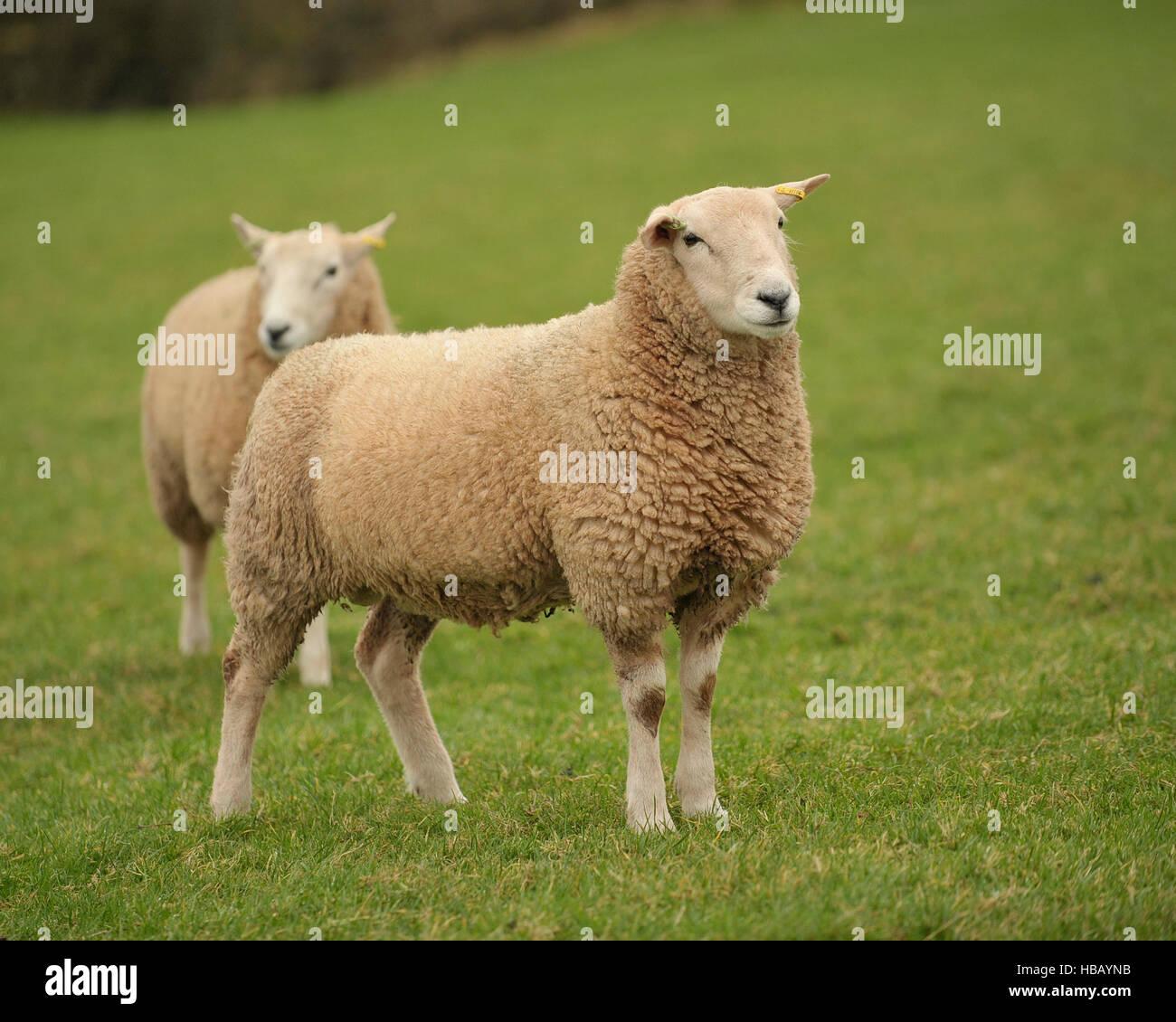 Lleyn ram, pedigree, - Stock Image