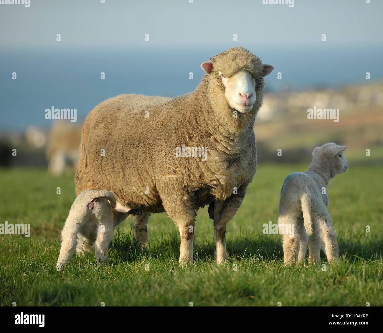 poll dorset ewe and her lambs - Stock Image