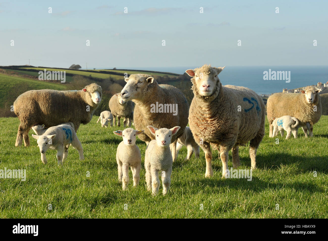 poll dorset ewes and their week old lambs - Stock Image