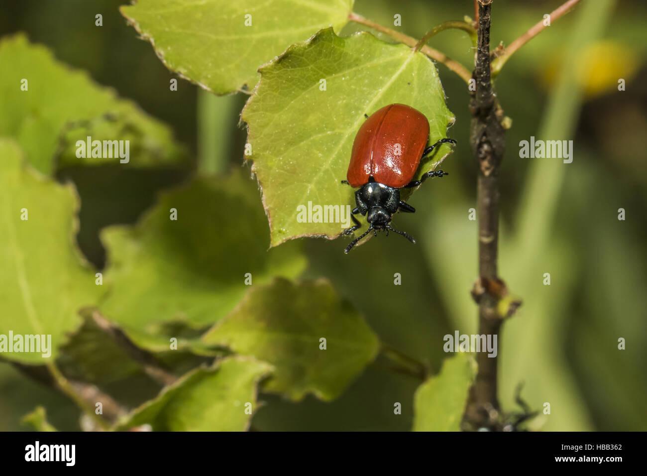 Red poplar leaf beetle (Melanosoma populi) - Stock Image