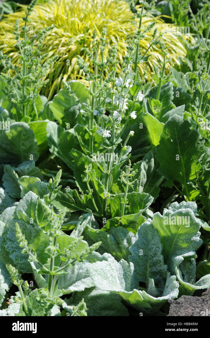 Salvia argentea, Silver sage Stock Photo