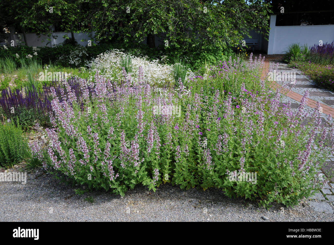 Stachys officinalis Rosea, Woundwort Stock Photo
