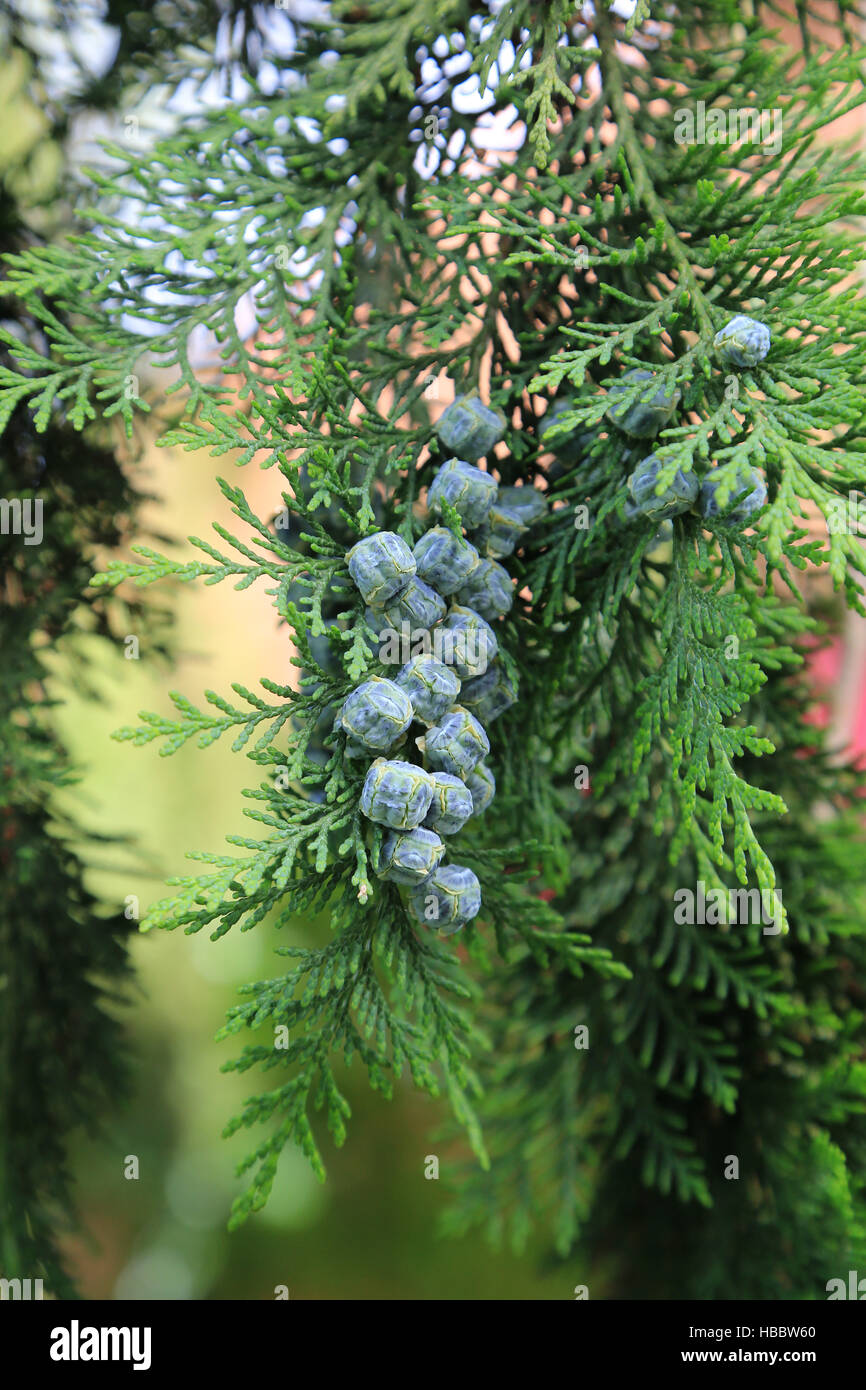 Lawson cypress, Chamaecyparis lawsoniana - Stock Image