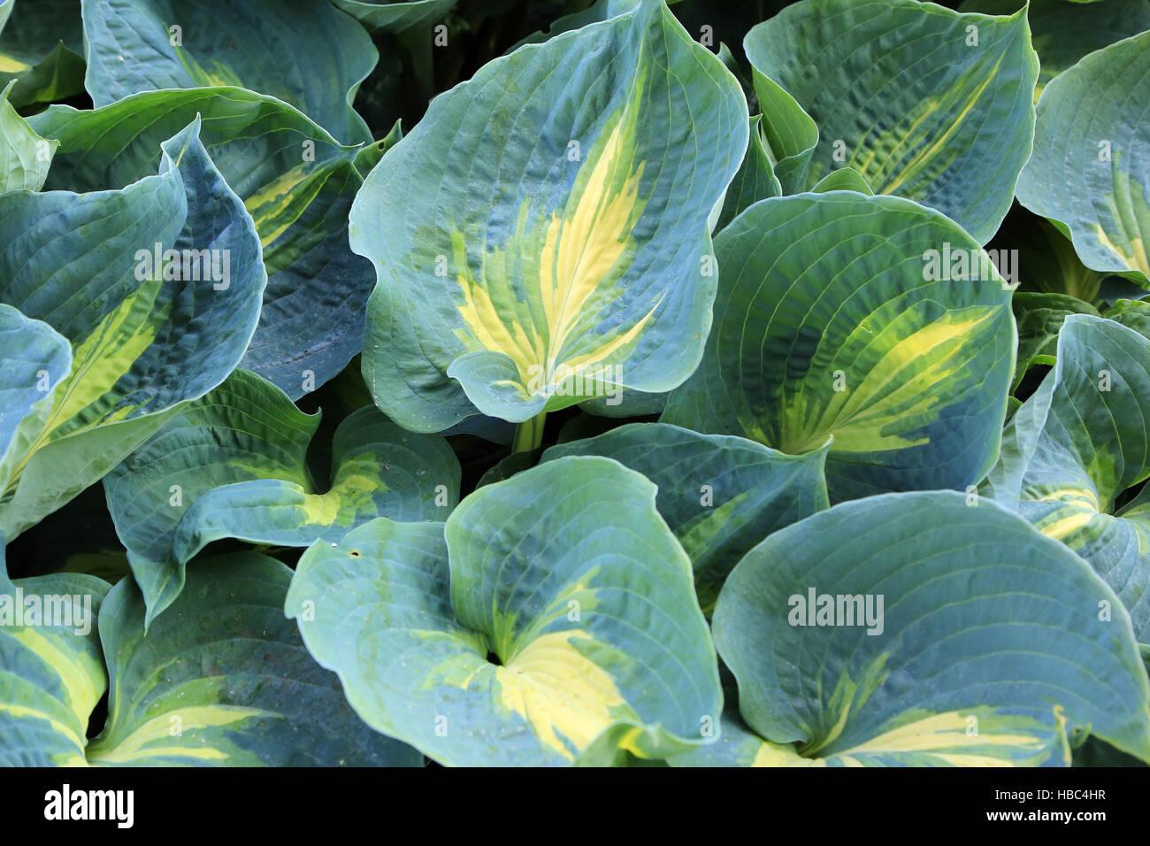 Plantain Lily Hosta Dream Queen Stock Photo 127500851 Alamy
