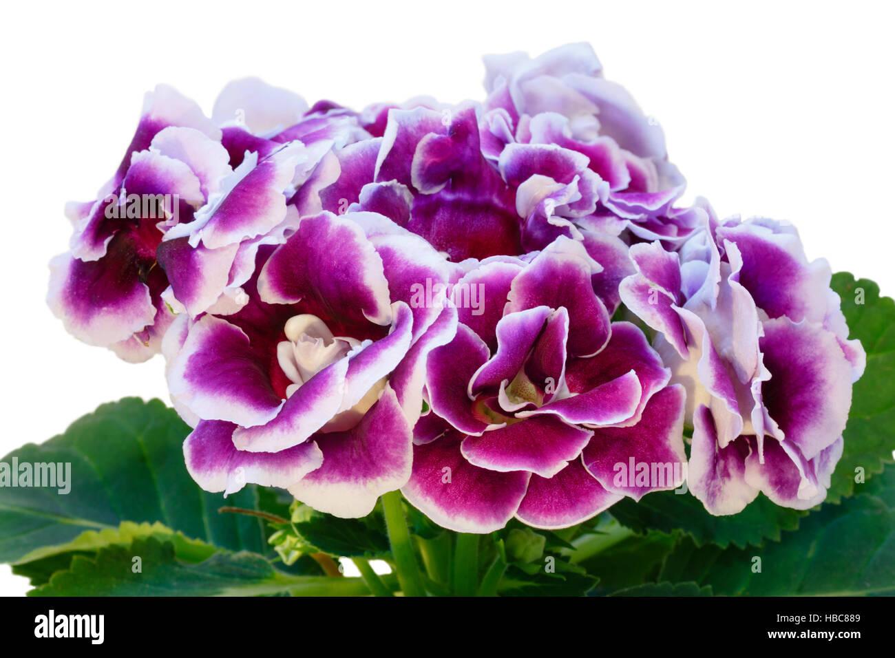 Gloxinia Plant With Violet White Flowers Stock Photo 127503721 Alamy