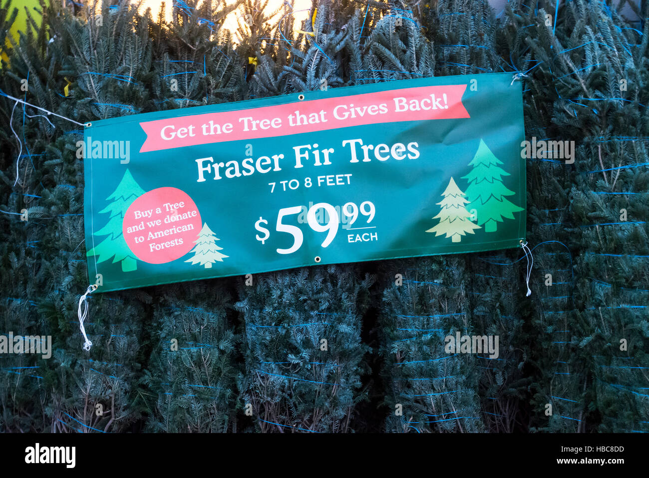 Fraser Fir trees on sale for Christmas holidays in New York City - Stock Image