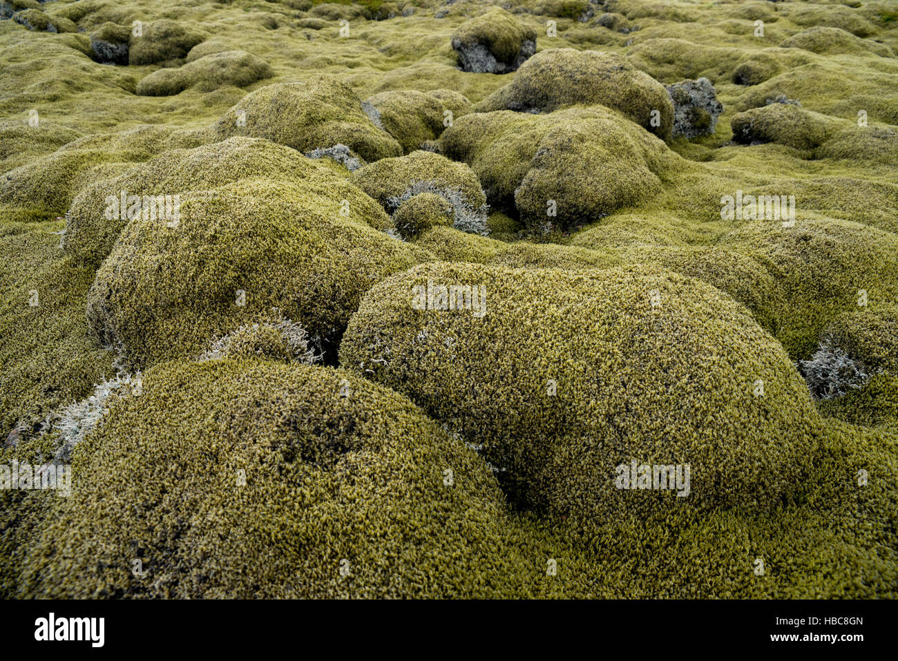 Green moss covered lava field from eruption of Laki volcano in Iceland - Stock Image