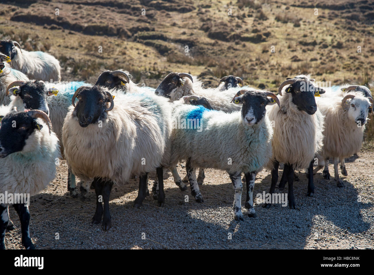 Flock of painted sheep on the side road of west coast of Ireland. - Stock Image