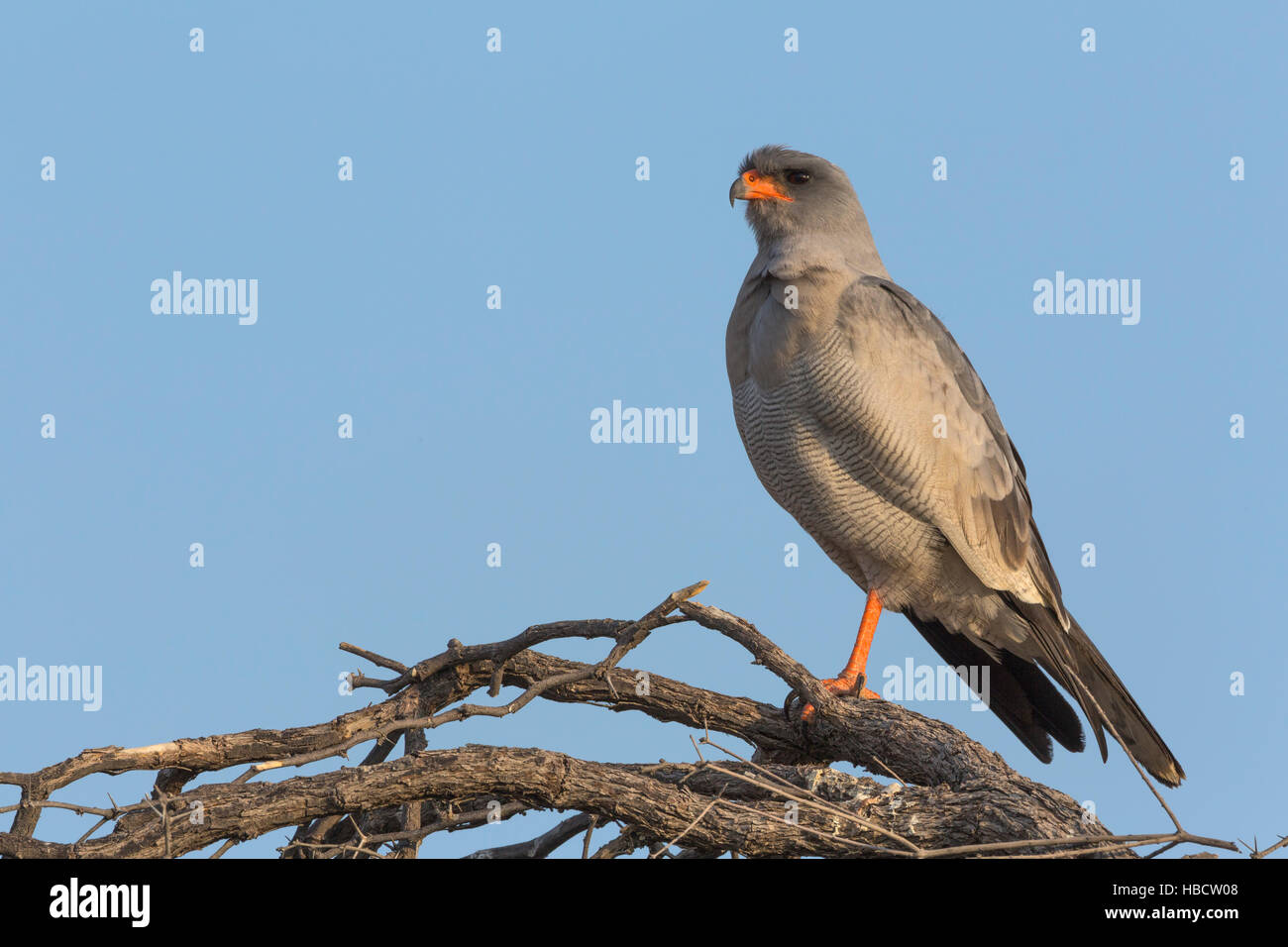 Pale chanting goshawk (Melierax canorus), Kgalagadi Transfrontier Park, South Africa - Stock Image