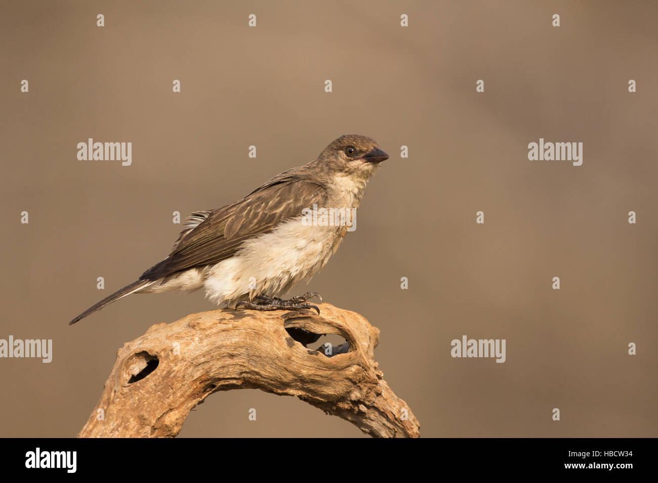 Greater honeyguide (Indicator indicator), Zimanga private game reserve, South Africa - Stock Image