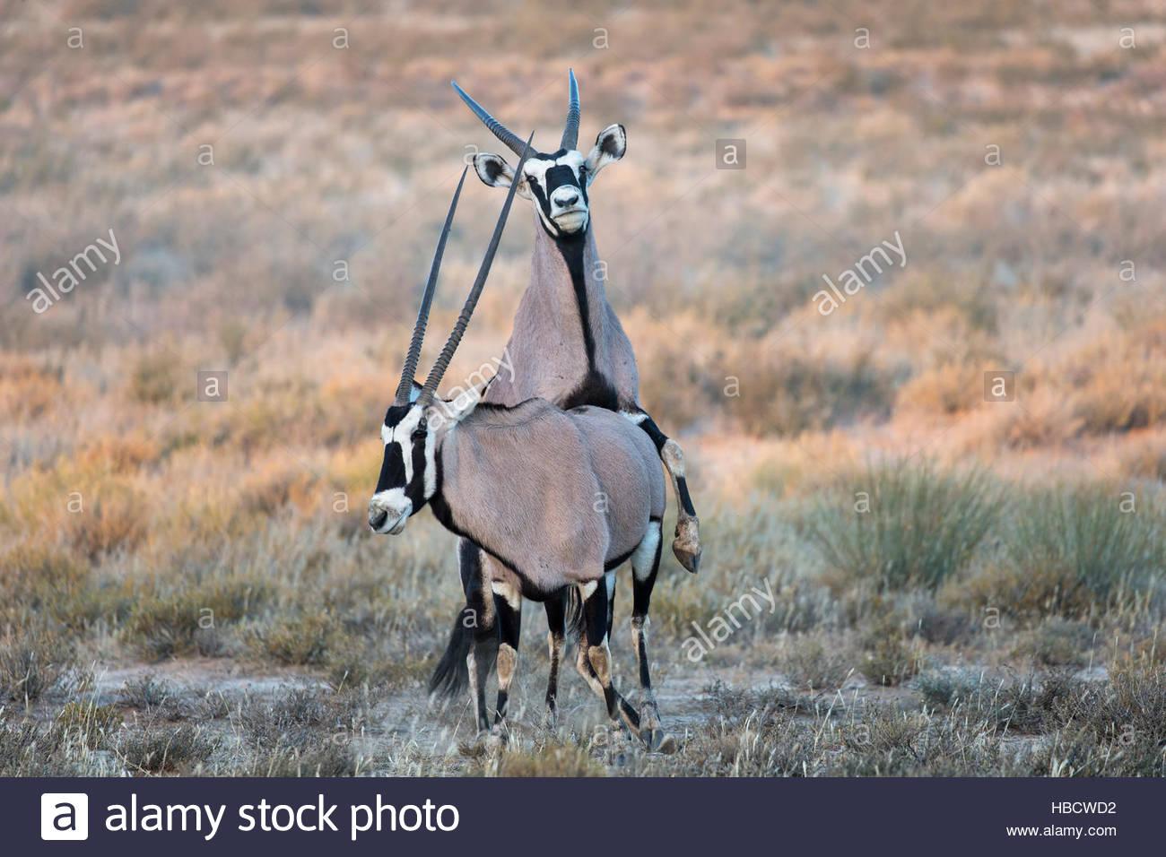 Gemsbok (Oryx gazella) mating, Kgalagadi transfrontier park, South Africa - Stock Image
