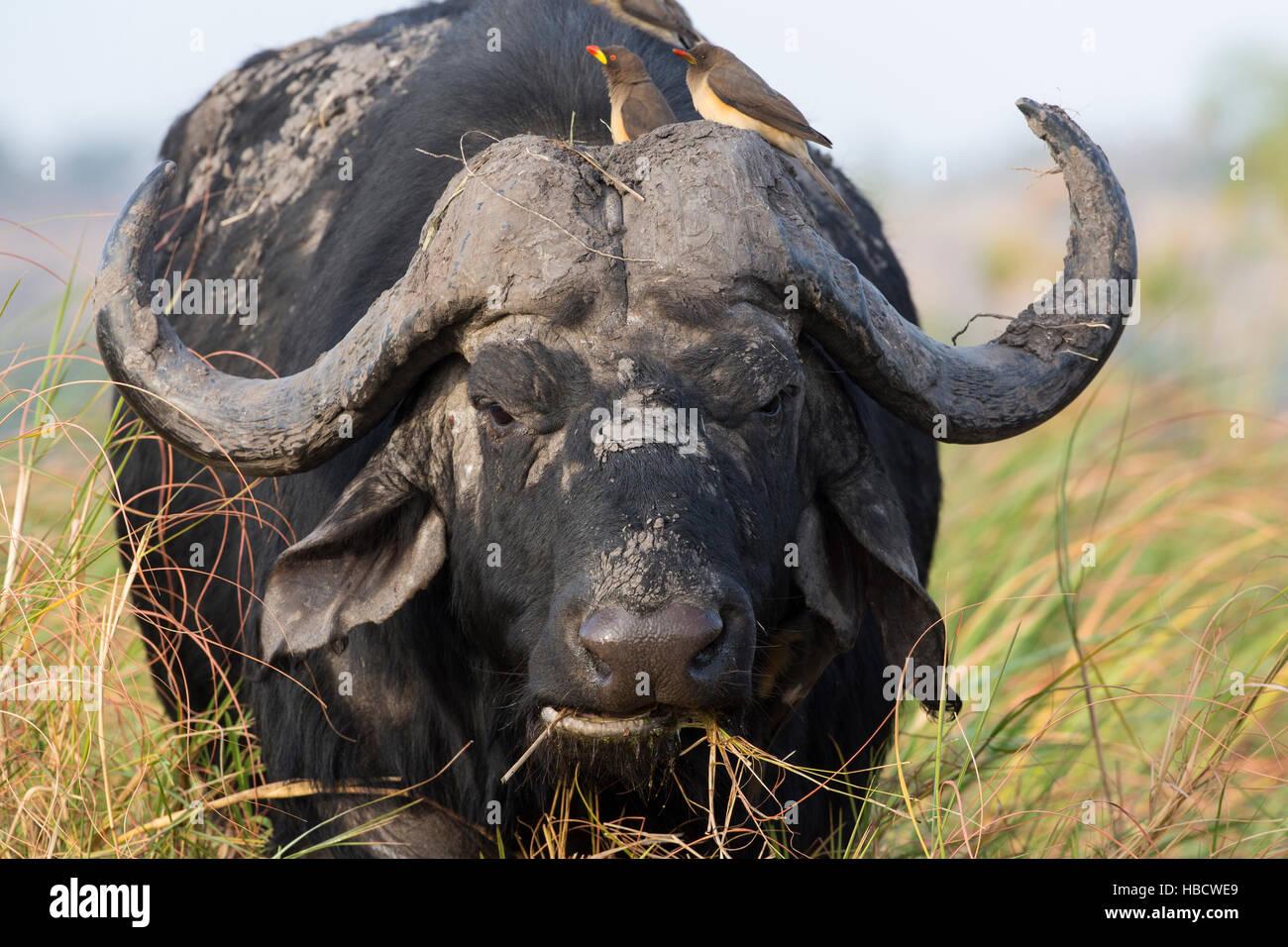 Cape buffalo (Syncerus caffer) with yellowbilled oxpeckers (Buphagus africanus), Chobe river, Botswana - Stock Image