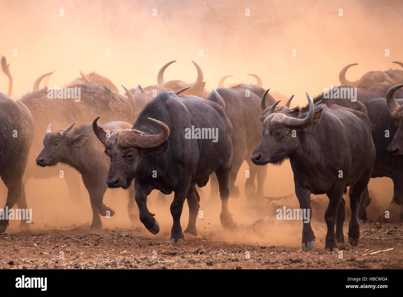 Cape buffalo (Syncerus caffer) herd, Zimanga private game reserve, KwaZulu-Natal, South Africa Stock Photo