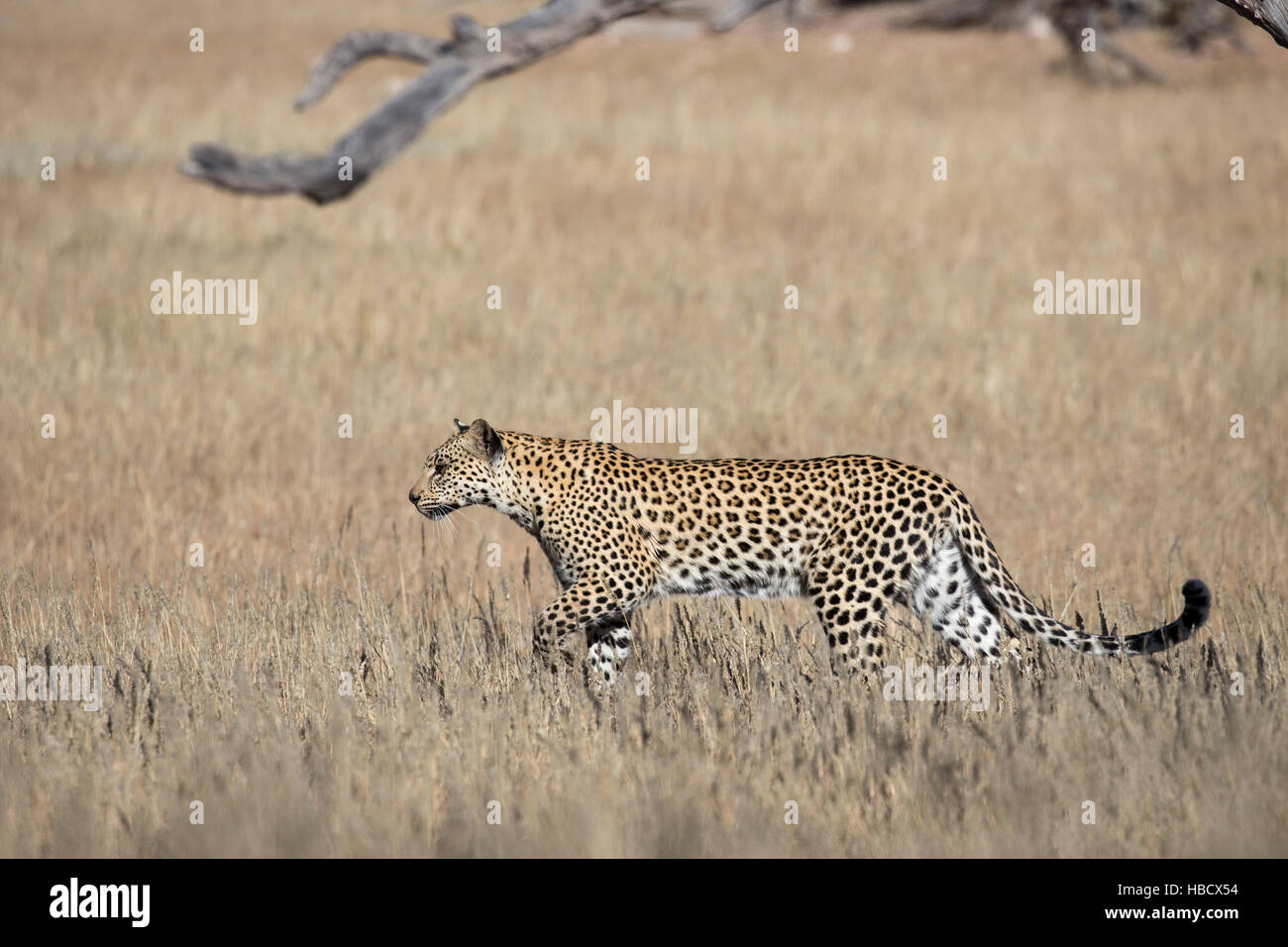 Leopard female (Panthera pardus), Kgalagadi transfrontier park, South Africa - Stock Image